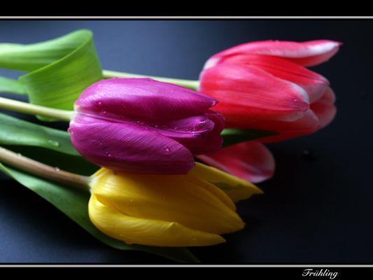 *Tulpen-Trio*