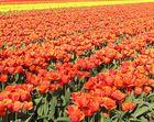 Tulpen, Tulpen, Tulpen