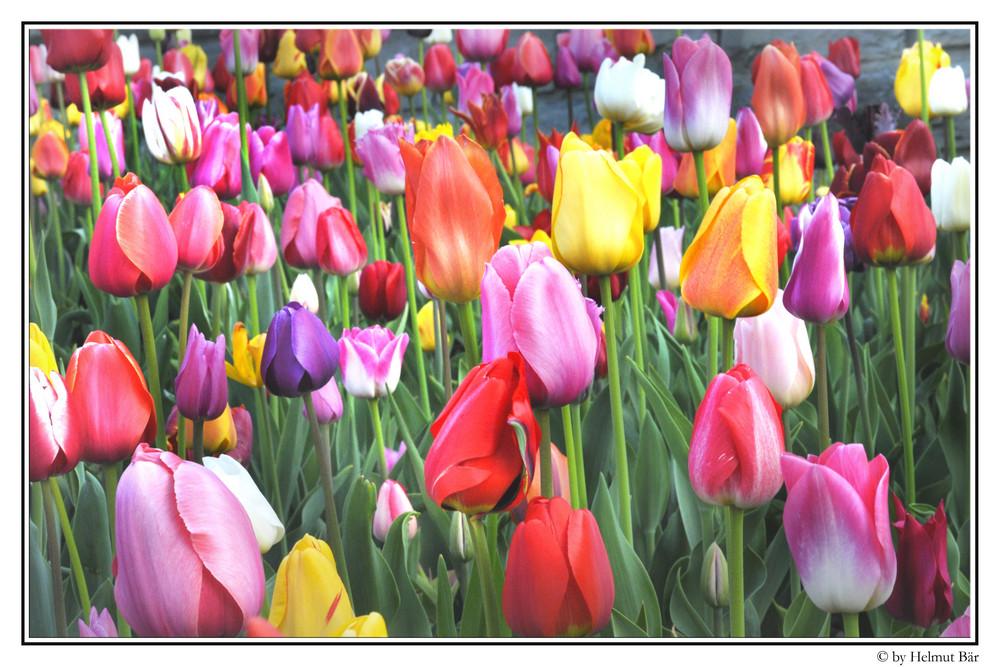 Tulpen über Tulpen