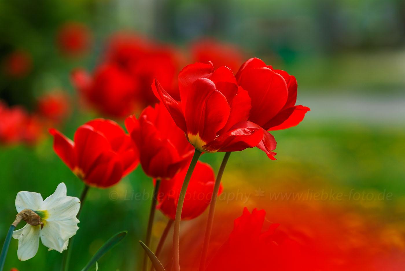 Tulpen und Frühling in Oberhavel