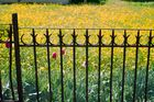Tulpen und Löwenzahn
