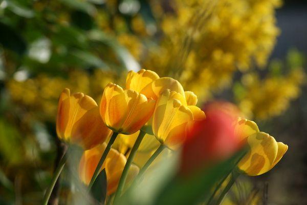 Tulpen verschönern meinen Garten und meine Umgebung
