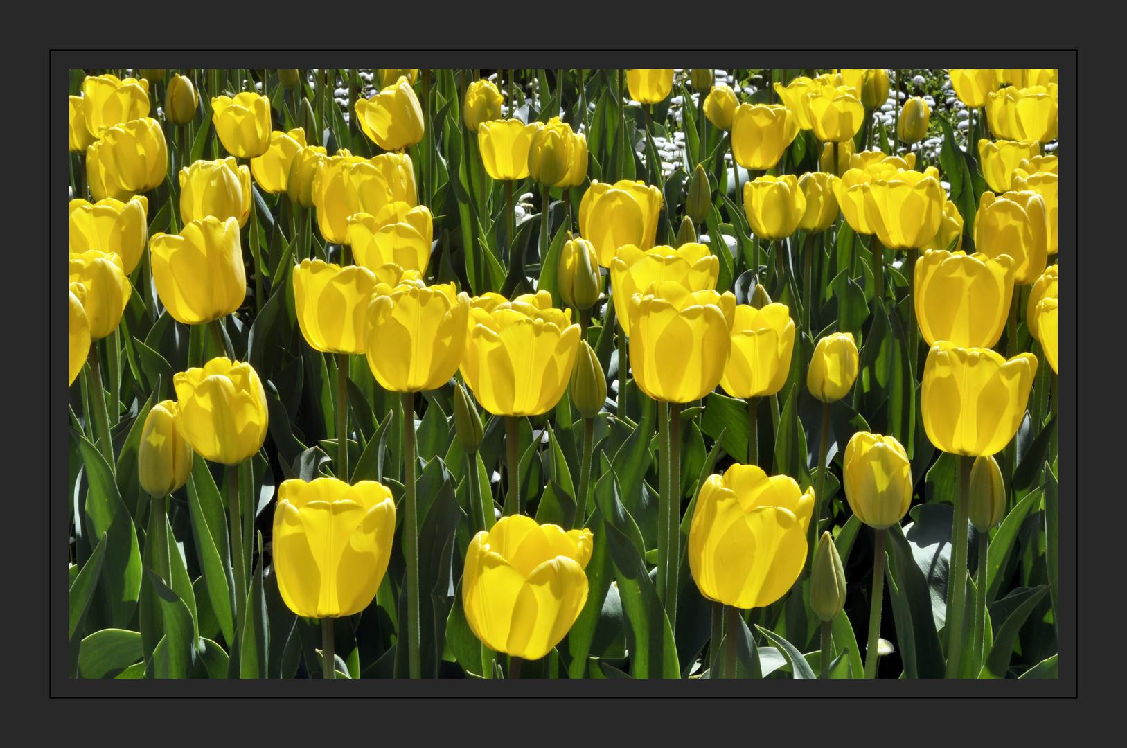 Tulpen - von April bis Mai