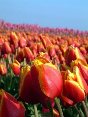 Tulpen von Texel