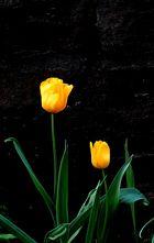 Tulpen vor dem Haus
