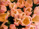 Tulpen- Wie gemalen