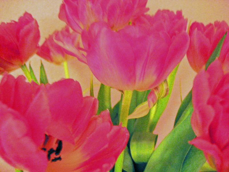 tulpen wie gemalt foto bild pflanzen pilze flechten bl ten kleinpflanzen tulpen. Black Bedroom Furniture Sets. Home Design Ideas