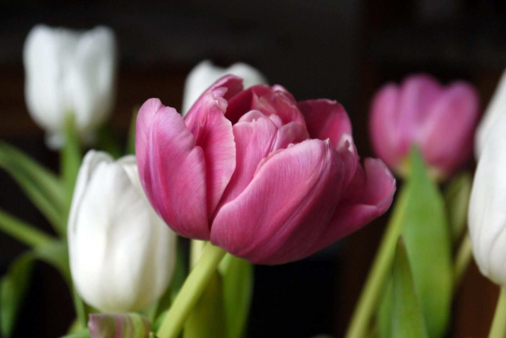 Tulpen Zeit