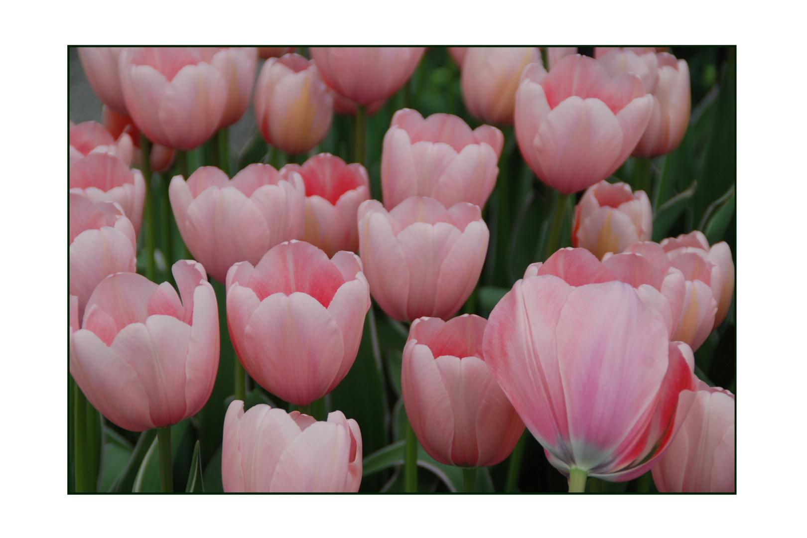 Tulpen zu Ostern