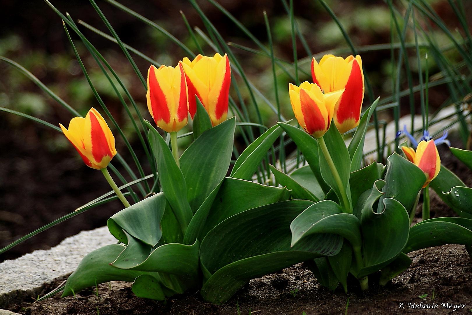 Tulpen zum Mittwoch