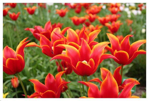 Tulpen#5