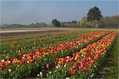 Tulpenanbau am Niederrhein