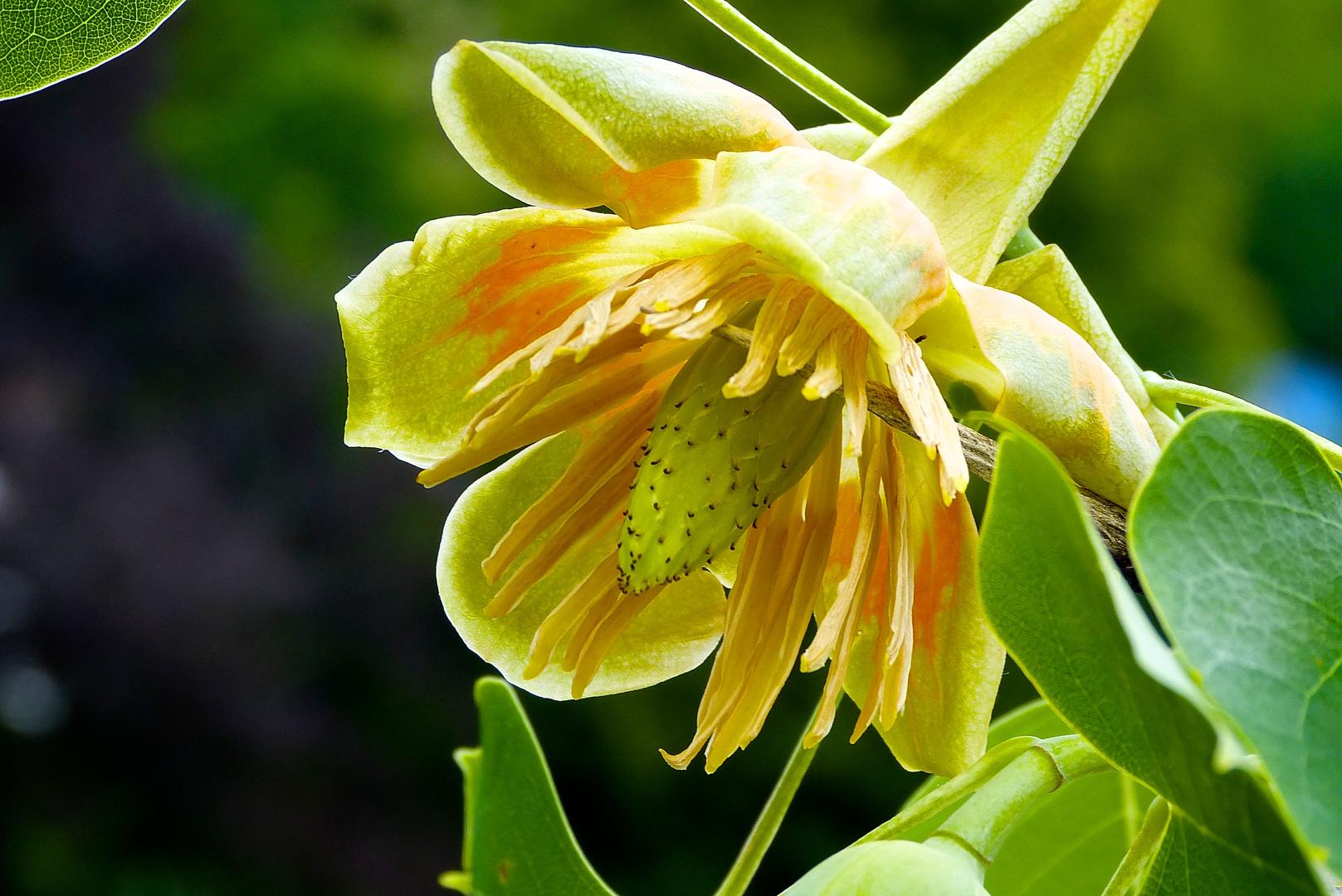 Tulpenbaum Blüte