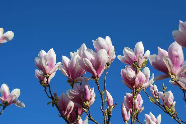 Tulpenbaum in voller Blüte