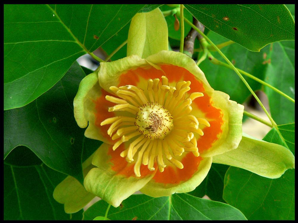 Tulpenbaum / Liriodendron