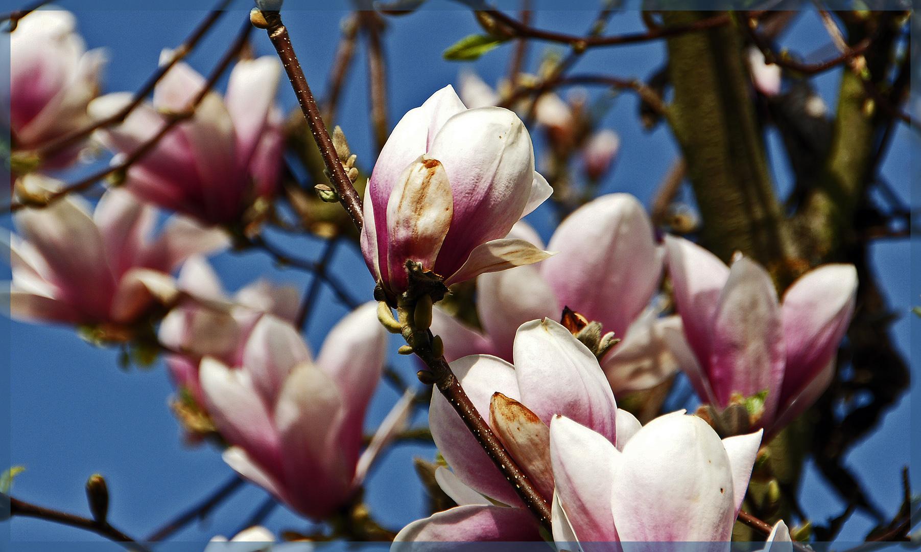 Tulpenbaum oder Magnolienbaum
