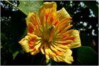 Tulpenbaumblüte (2)