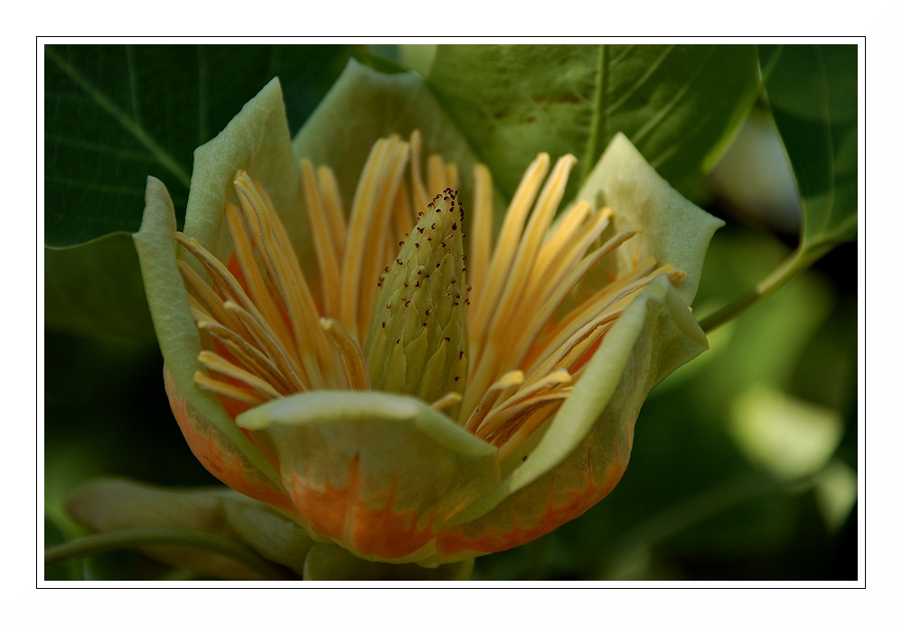 Tulpenbaumblüte (Liriodendron tulipifera)