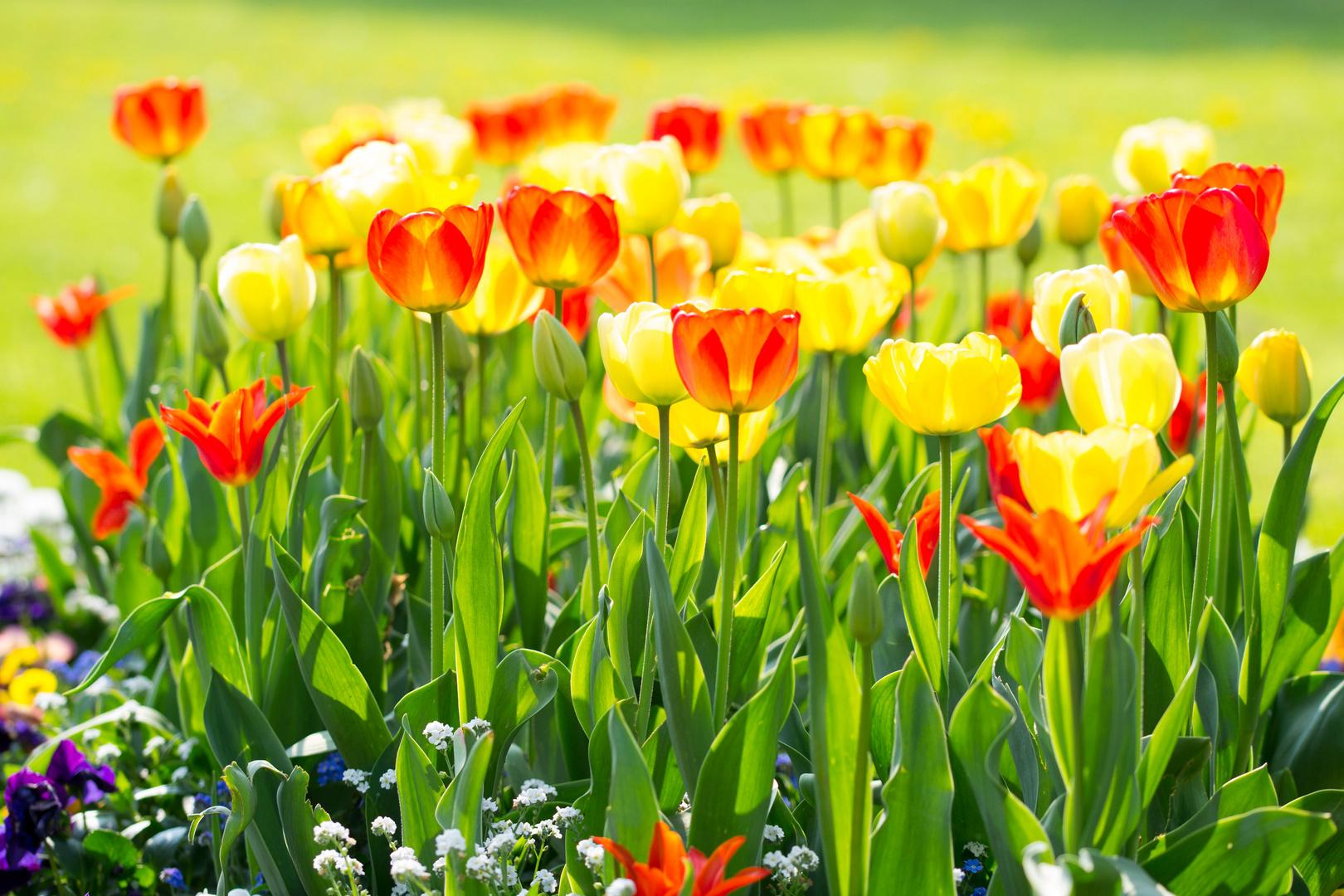 Tulpenbeet im Gegenlicht