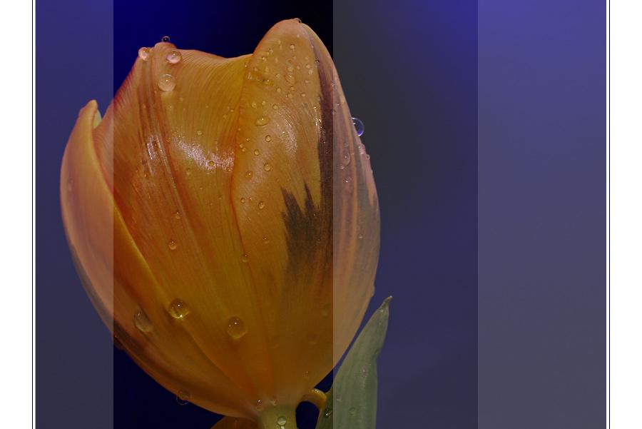 Tulpenbeschnitt