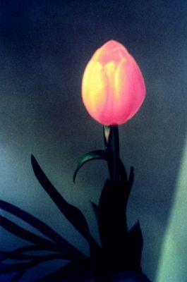 Tulpenbestrahlung