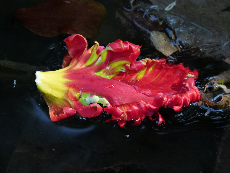 Tulpenblatt im Wasser