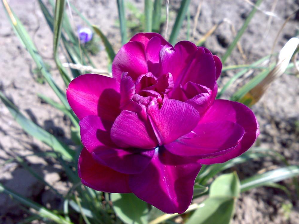 Tulpenblüte 02