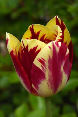 Tulpenbluete-1