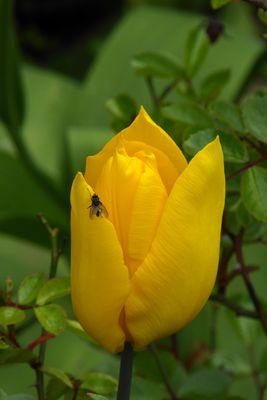 Tulpenbluete-2