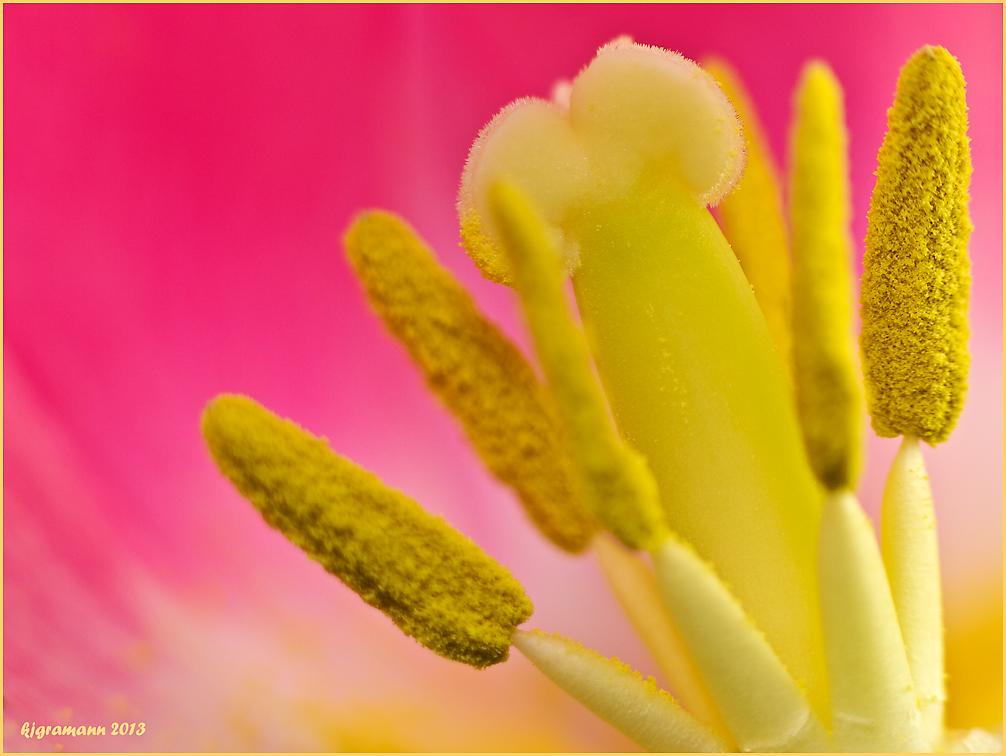 tulpenblüte III........