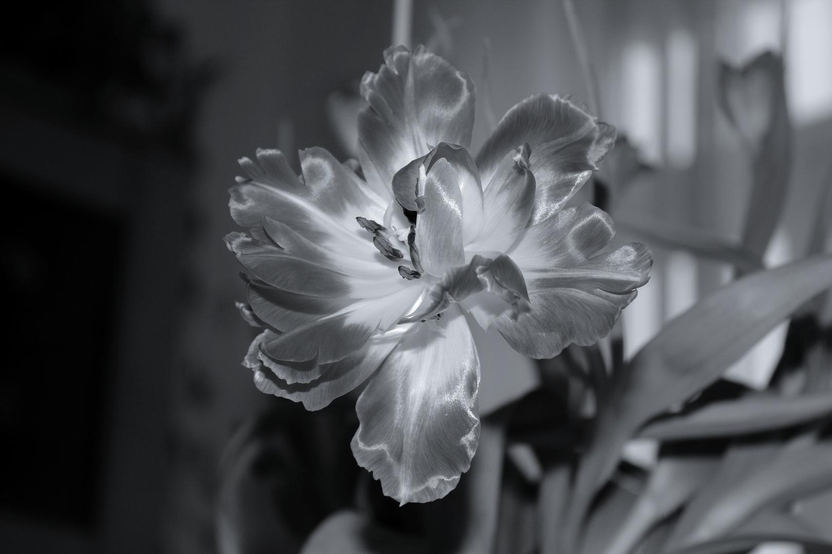 Tulpenblüte mal anders