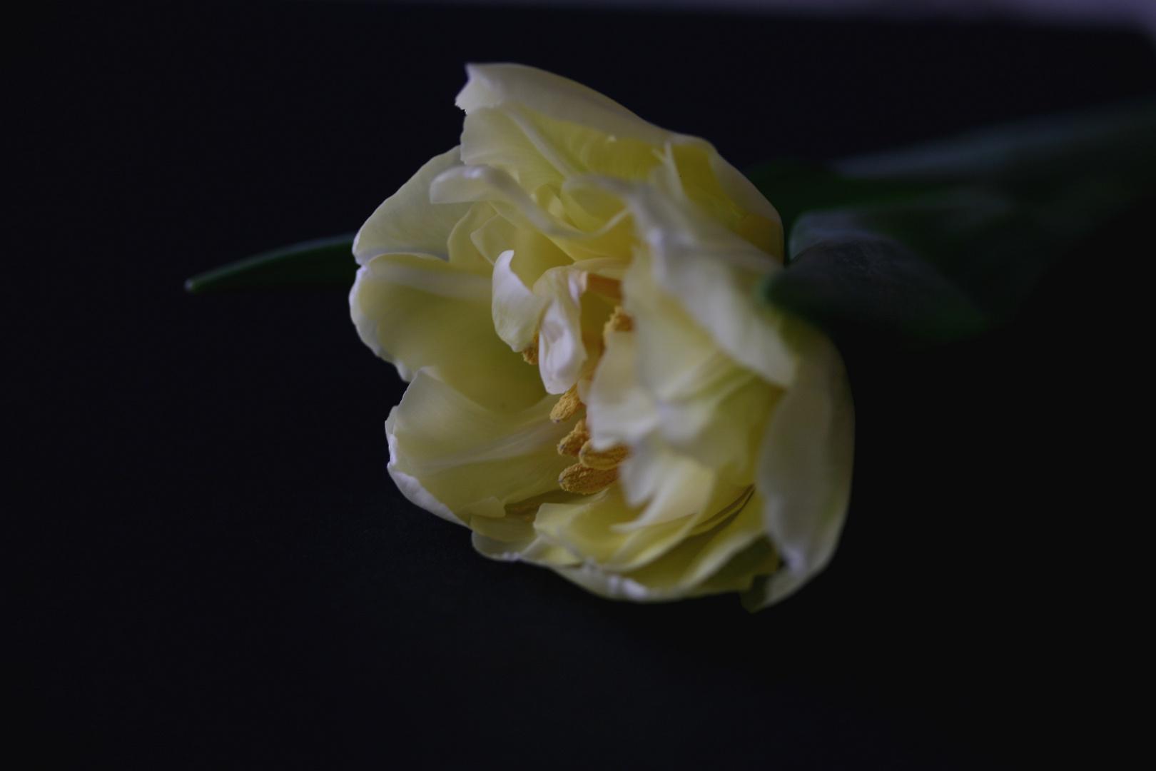 Tulpenblüte ... noch ein Versuch