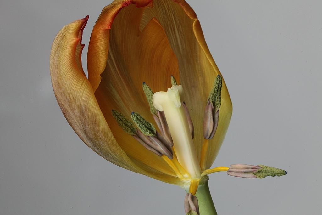 Tulpenblüte2