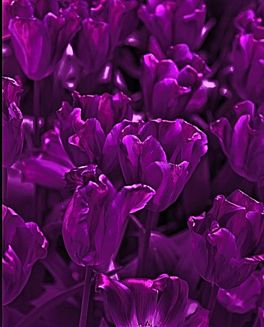 Tulpenbracht im Farbenrausch I