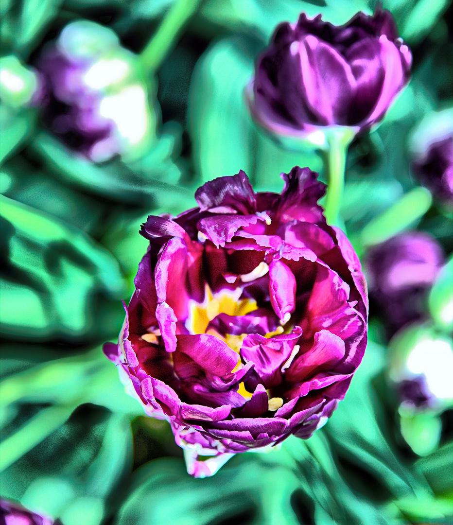 Tulpenbracht im Farbenrausch II