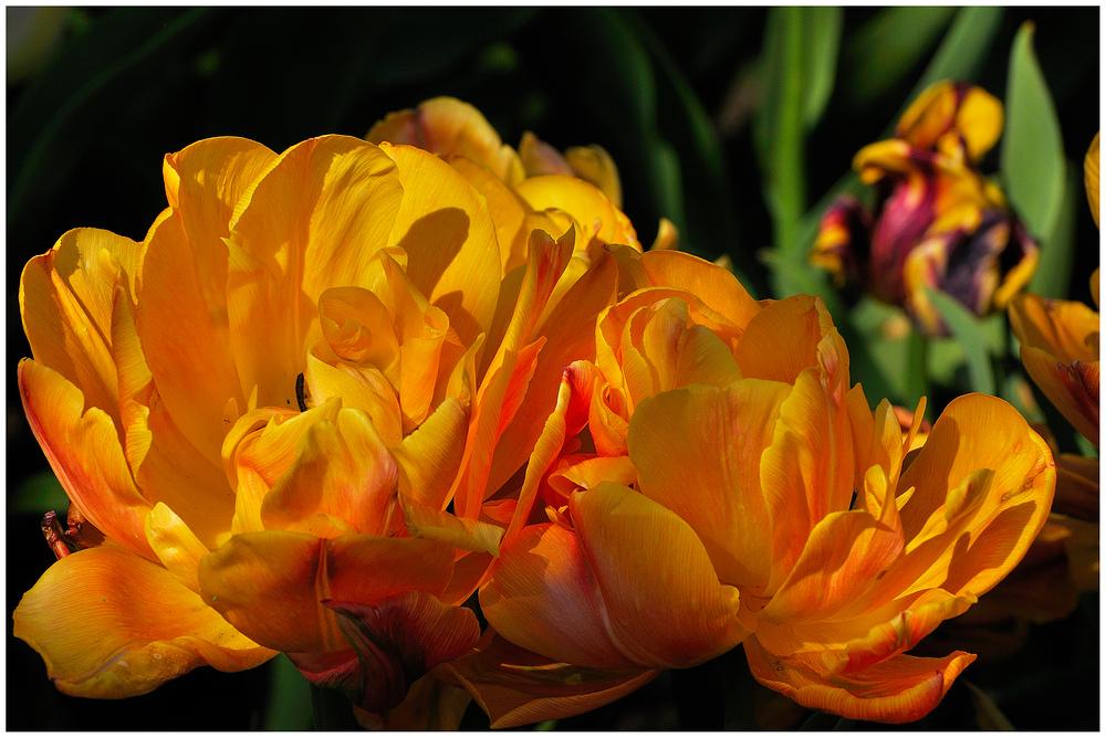 Tulpenendzeitstimmung...