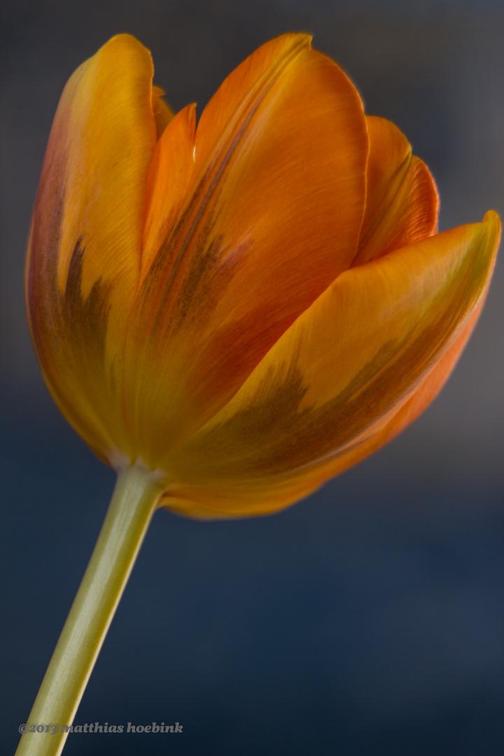 Tulpenerblühen