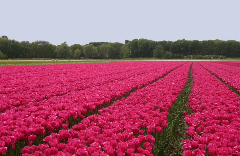 Tulpenfelder.