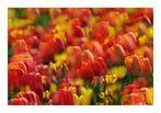 Tulpenfeuerwerk