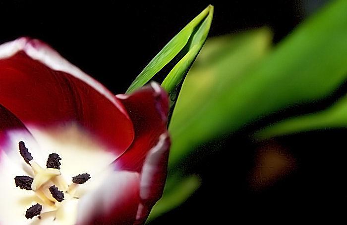 Tulpenfreuden