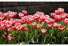 Tulpenfrühling......