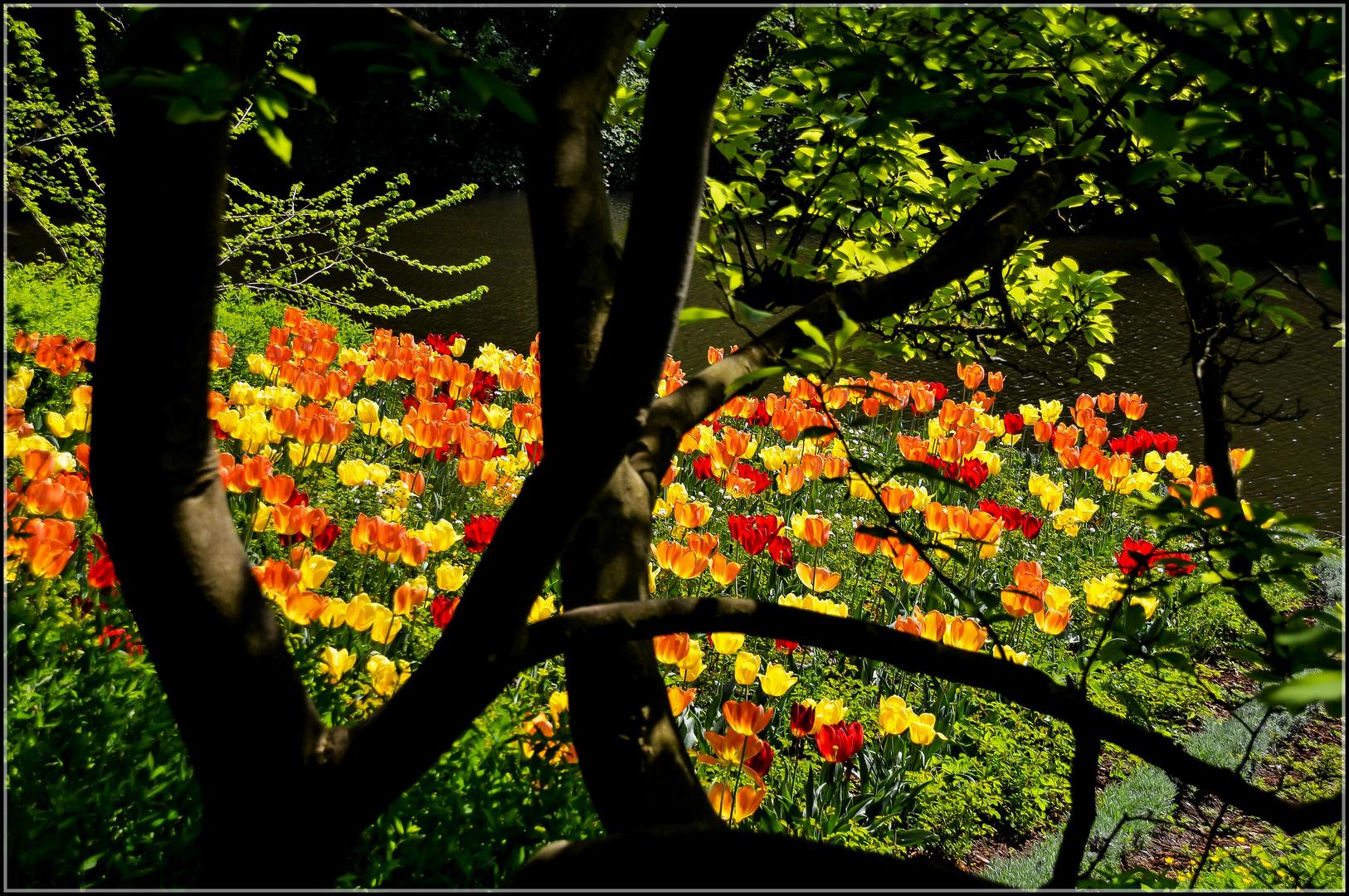Tulpenglühen