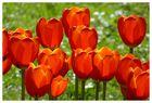 Tulpenglühen auf der Mainau
