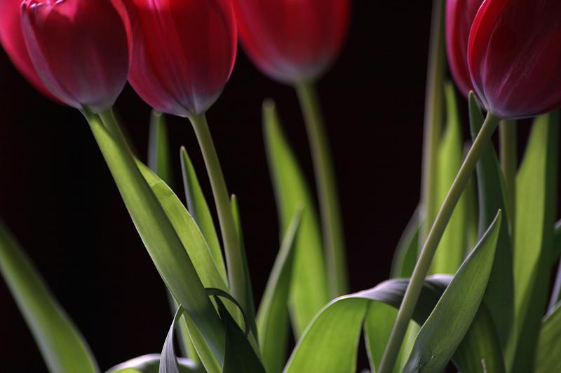 Tulpengruß II