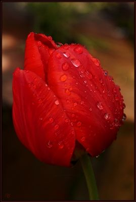 Tulpenhochkanttest 336 x 500