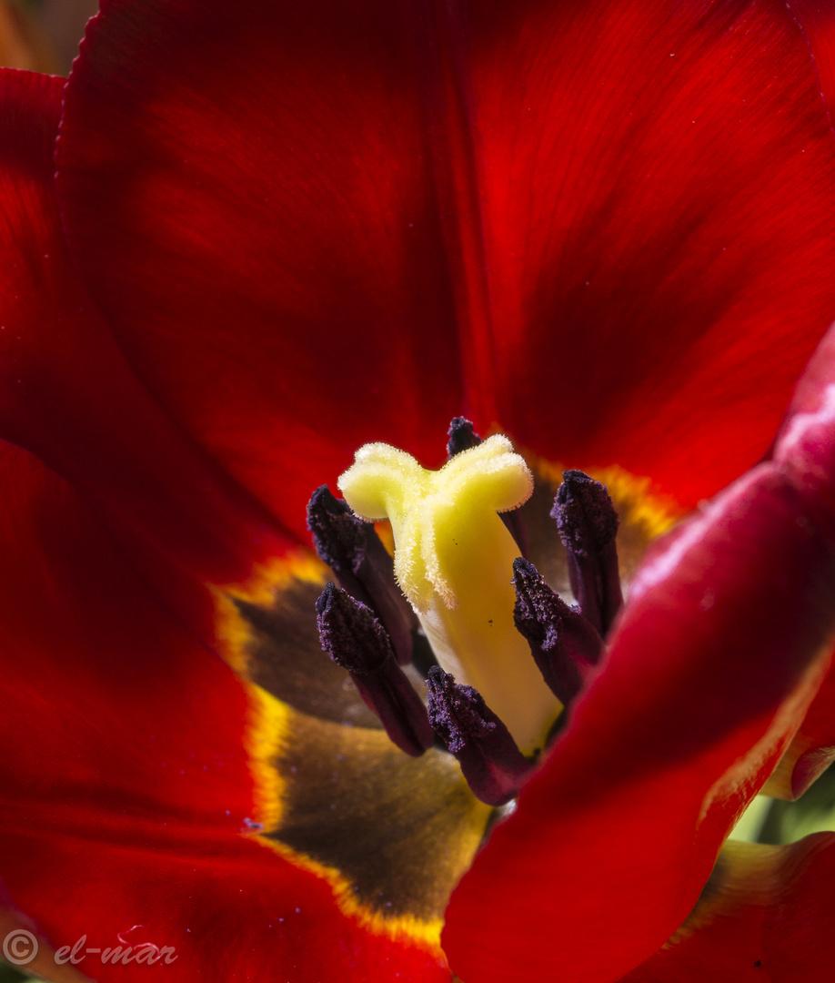 Tulpenmacro...weil so schön bunt....