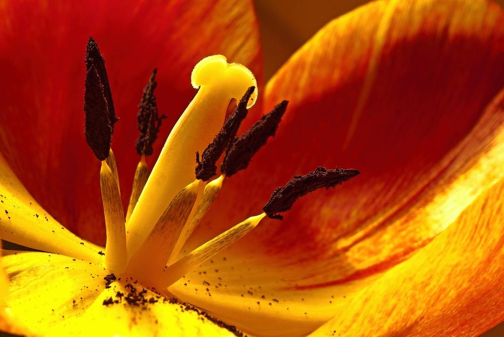 Tulpenmakro