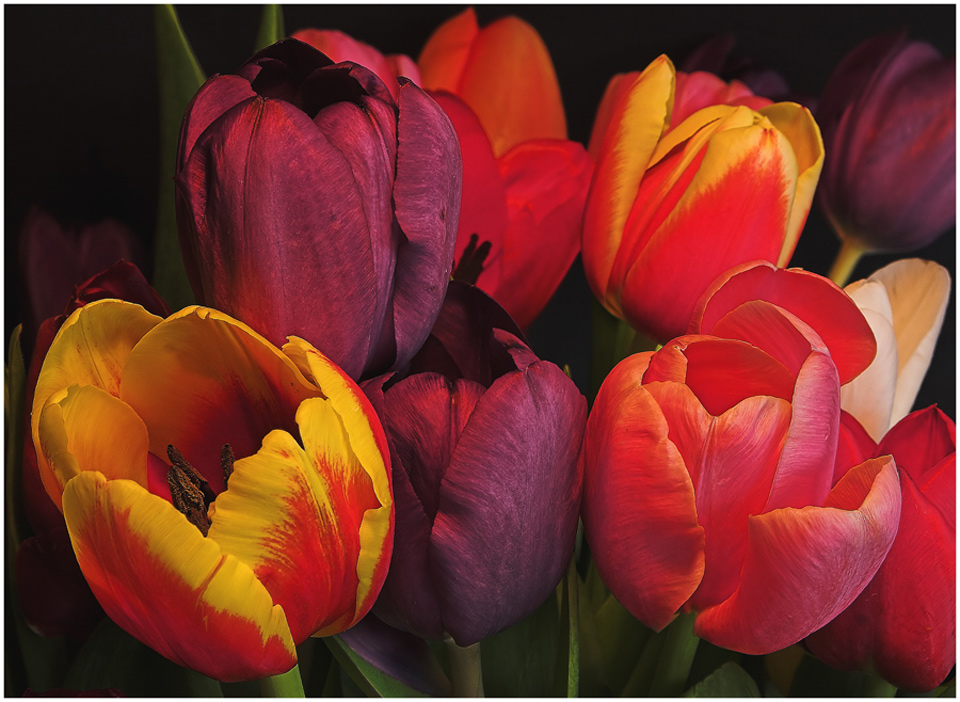 Tulpenmeer (5)