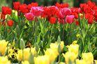 Tulpenmehr...