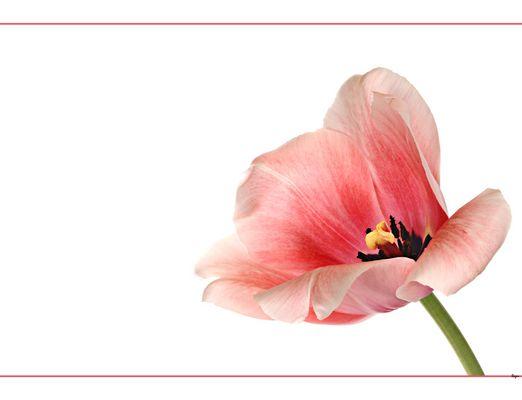Tulpenportrait